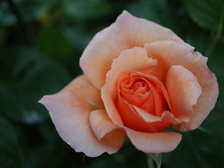 アプリコットキャンディ(Apricot Candy)の花が咲いた。木立バラ。2021年-006.jpg