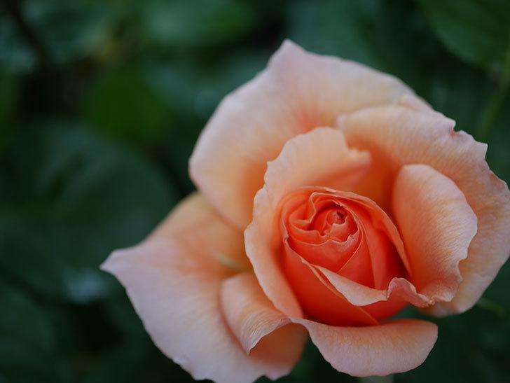 アプリコットキャンディ(Apricot Candy)の花が咲いた。木立バラ。2021年-007.jpg