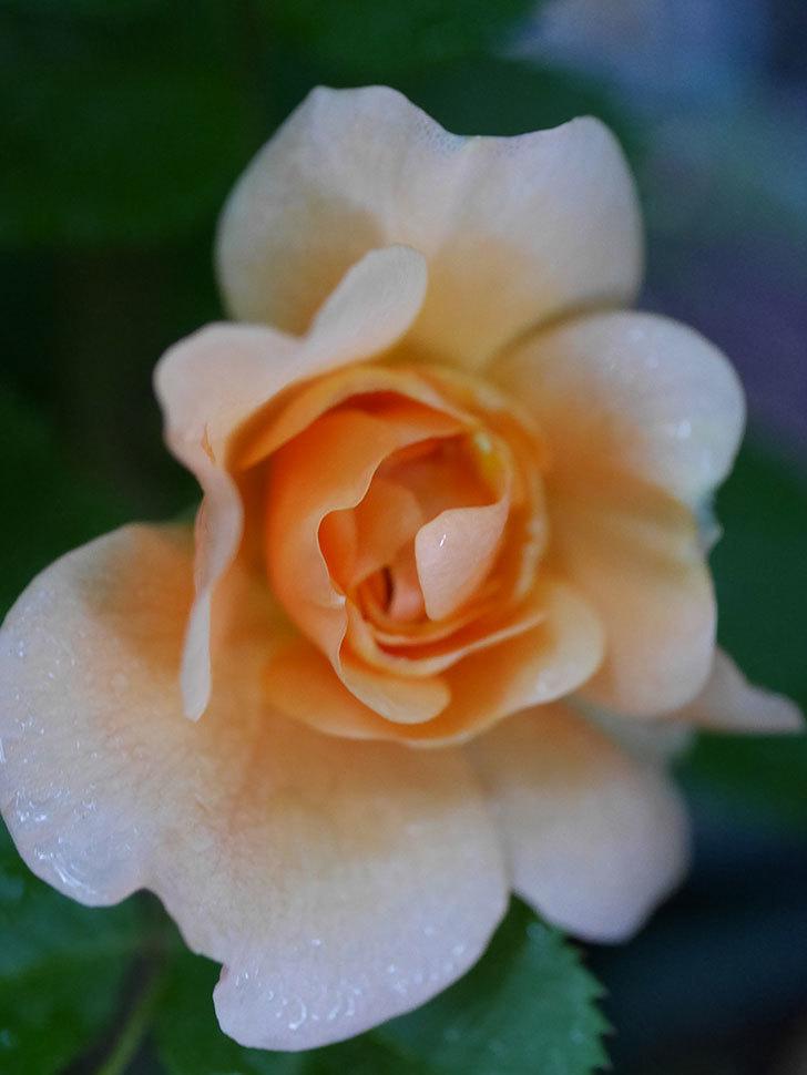 アプリコットキャンディ(Apricot Candy)の花が咲いた。木立バラ。2021年-009.jpg