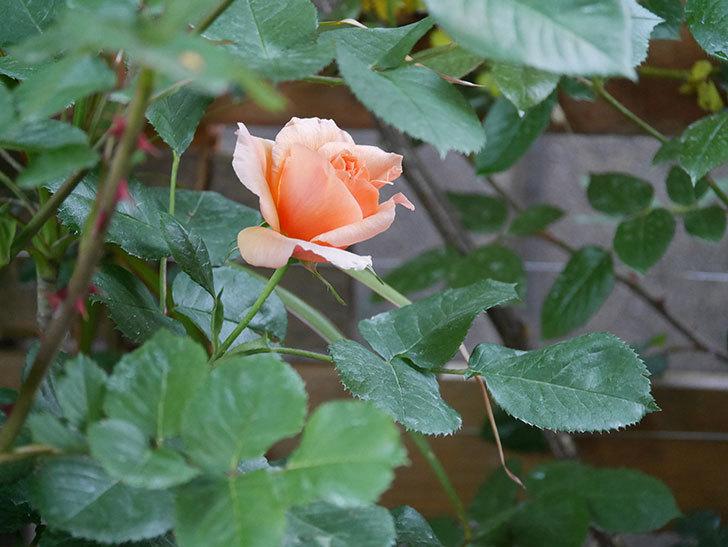 アプリコットキャンディ(Apricot Candy)の花が咲いた。木立バラ。2021年-012.jpg