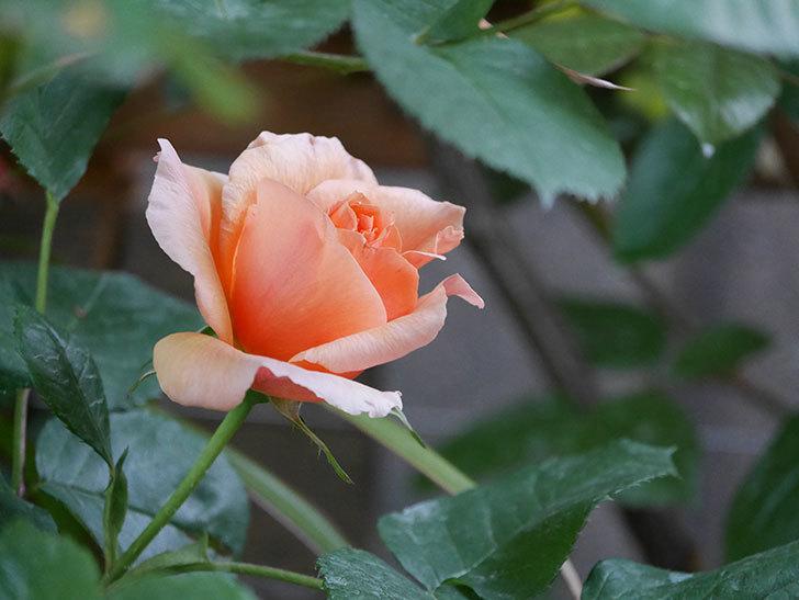 アプリコットキャンディ(Apricot Candy)の花が咲いた。木立バラ。2021年-013.jpg