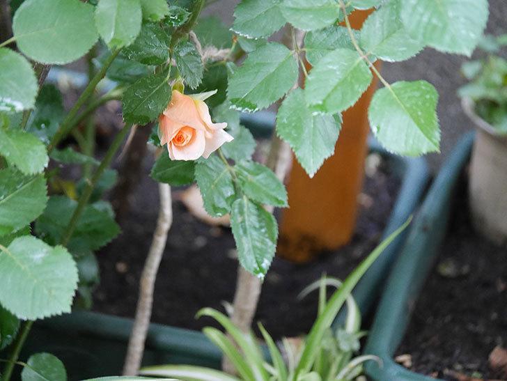 アプリコットキャンディ(Apricot Candy)の花が咲いた。木立バラ。2021年-015.jpg