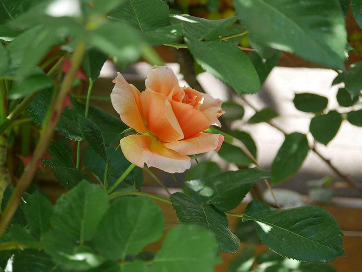 アプリコットキャンディ(Apricot Candy)の花が咲いた。木立バラ。2021年-017.jpg