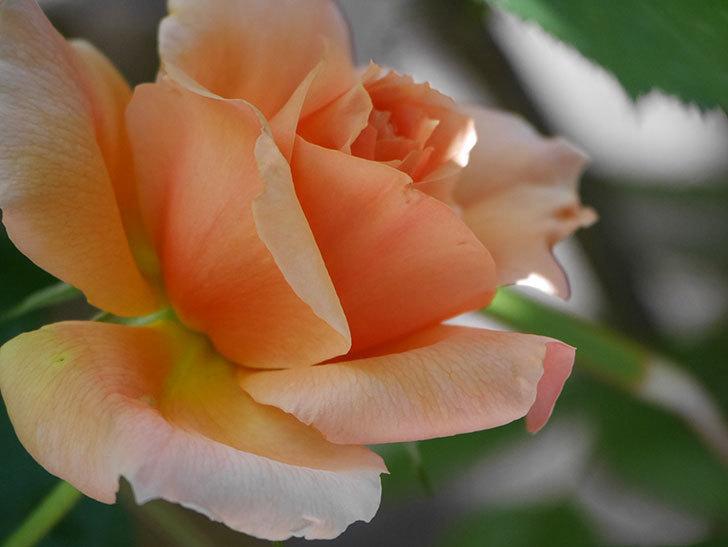 アプリコットキャンディ(Apricot Candy)の花が咲いた。木立バラ。2021年-018.jpg