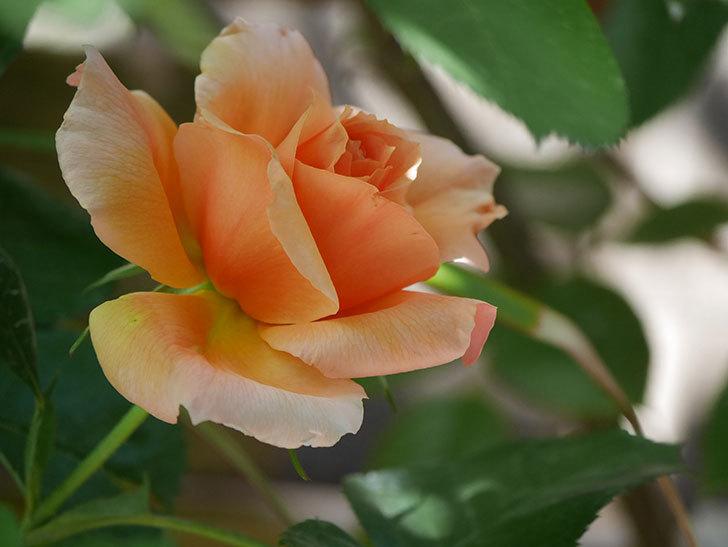 アプリコットキャンディ(Apricot Candy)の花が咲いた。木立バラ。2021年-020.jpg