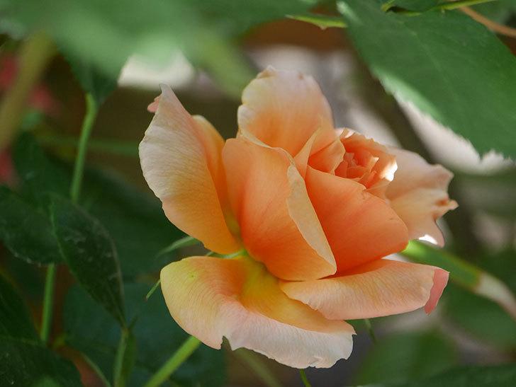 アプリコットキャンディ(Apricot Candy)の花が咲いた。木立バラ。2021年-021.jpg