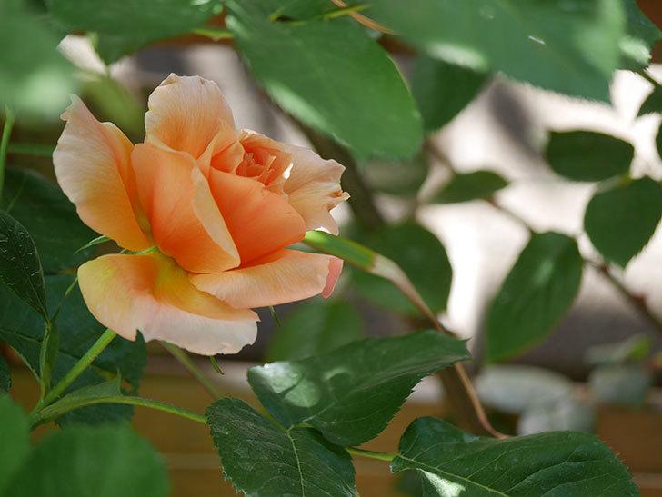 アプリコットキャンディ(Apricot Candy)の花が咲いた。木立バラ。2021年-022.jpg