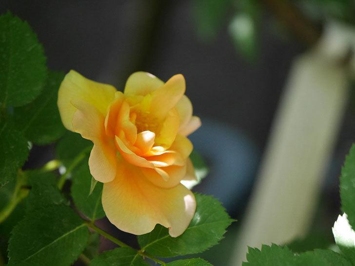 アプリコットキャンディ(Apricot Candy)の花が咲いた。木立バラ。2021年-024.jpg