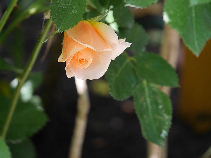 アプリコットキャンディ(Apricot Candy)の花が咲いた。木立バラ。2021年-026.jpg