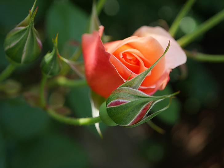 アプリコットキャンディ(Apricot Candy)の花が増えてきた。木立バラ。2021年-008.jpg