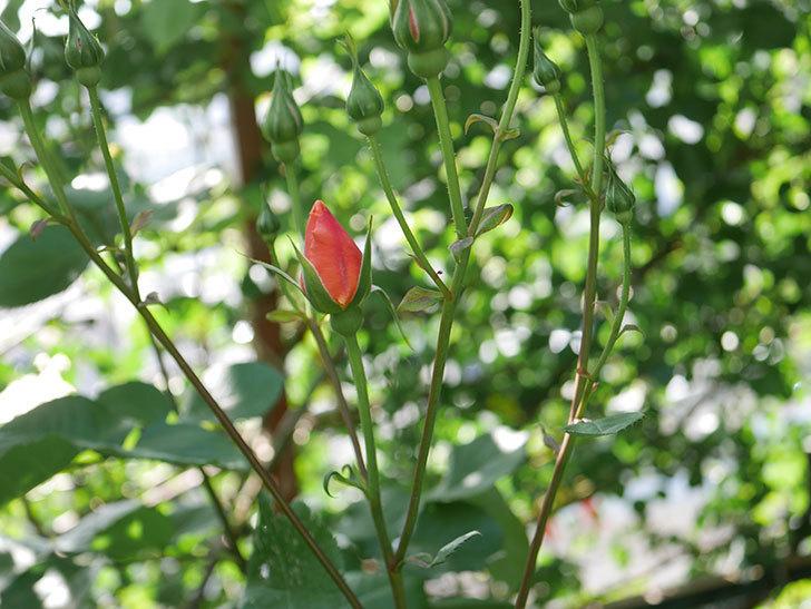 アプリコットキャンディ(Apricot Candy)の花が増えてきた。木立バラ。2021年-011.jpg