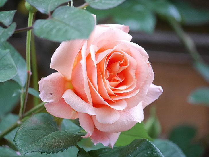 アプリコットキャンディ(Apricot Candy)の花が増えてきた。木立バラ。2021年-012.jpg