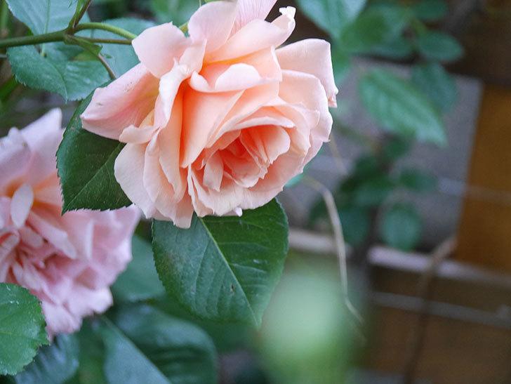 アプリコットキャンディ(Apricot Candy)の花が増えてきた。木立バラ。2021年-013.jpg