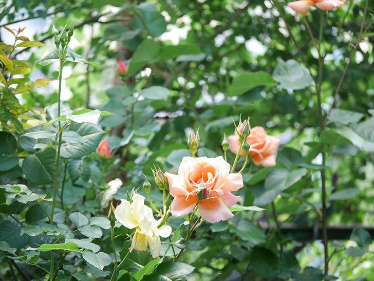 アプリコットキャンディ(Apricot Candy)の花が増えてきた。木立バラ。2021年-014.jpg