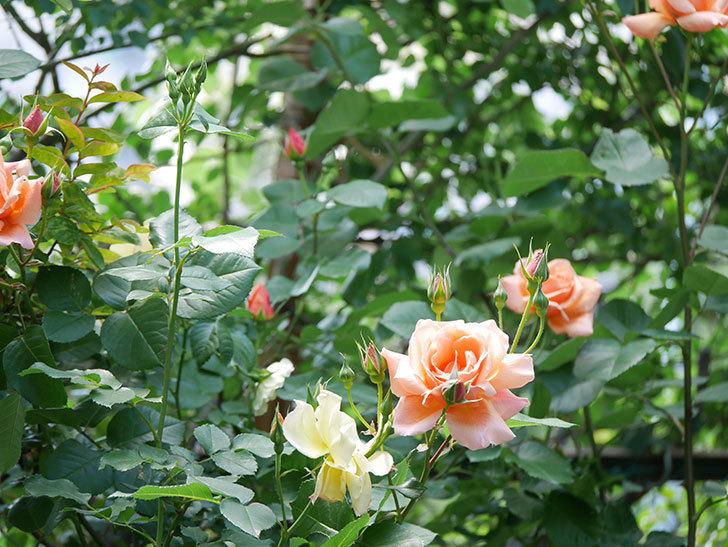 アプリコットキャンディ(Apricot Candy)の花が増えてきた。木立バラ。2021年-015.jpg