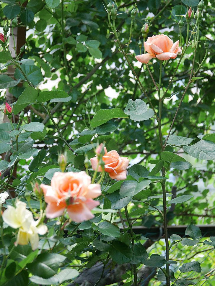 アプリコットキャンディ(Apricot Candy)の花が増えてきた。木立バラ。2021年-017.jpg