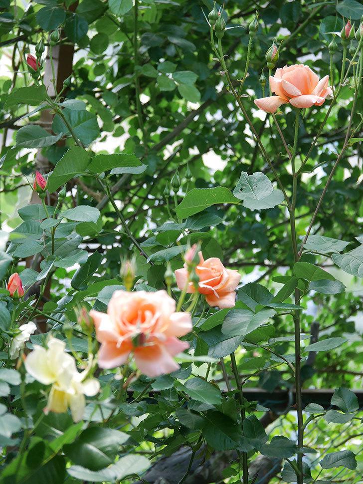 アプリコットキャンディ(Apricot Candy)の花が増えてきた。木立バラ。2021年-018.jpg