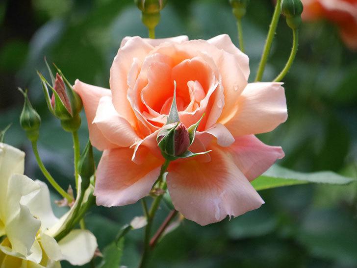 アプリコットキャンディ(Apricot Candy)の花が増えてきた。木立バラ。2021年-019.jpg
