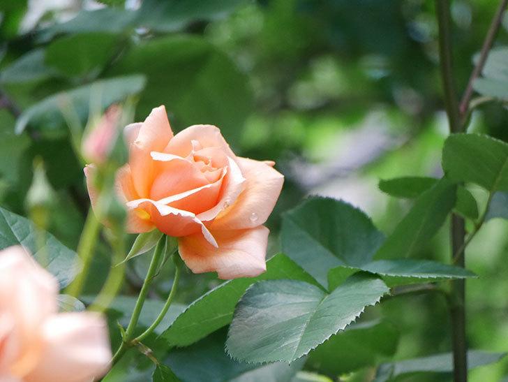 アプリコットキャンディ(Apricot Candy)の花が増えてきた。木立バラ。2021年-021.jpg