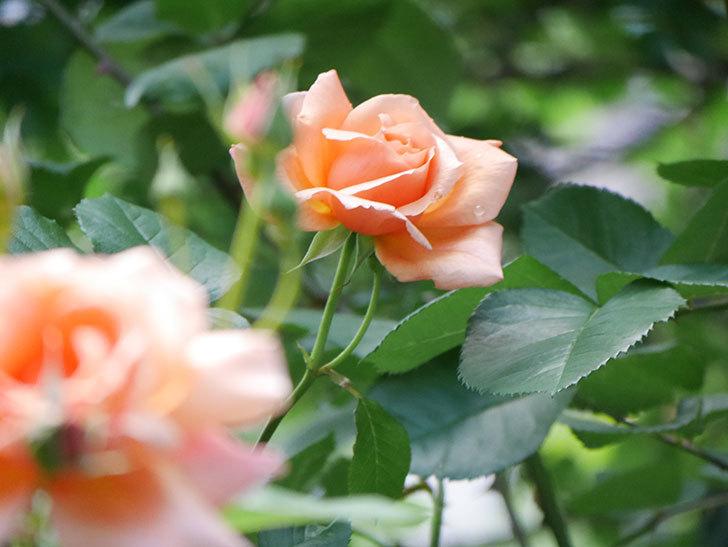 アプリコットキャンディ(Apricot Candy)の花が増えてきた。木立バラ。2021年-022.jpg