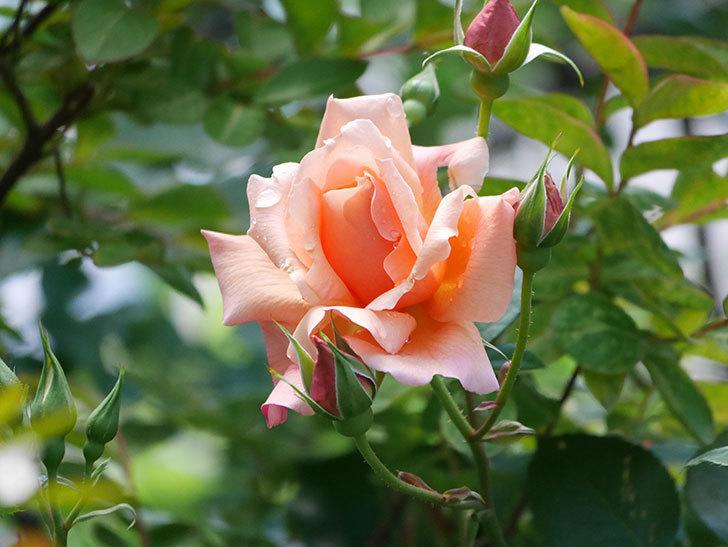 アプリコットキャンディ(Apricot Candy)の花が増えてきた。木立バラ。2021年-023.jpg