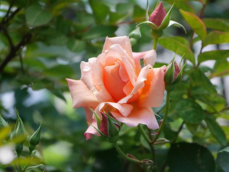 アプリコットキャンディ(Apricot Candy)の花が増えてきた。木立バラ。2021年-024.jpg