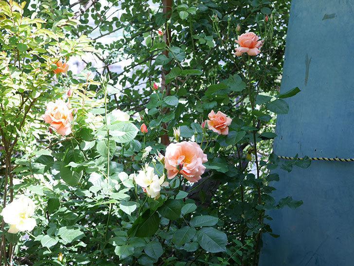 アプリコットキャンディ(Apricot Candy)の花が増えてきた。木立バラ。2021年-026.jpg