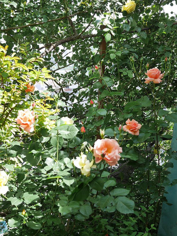 アプリコットキャンディ(Apricot Candy)の花が増えてきた。木立バラ。2021年-027.jpg
