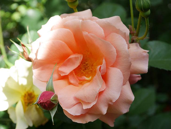 アプリコットキャンディ(Apricot Candy)の花が増えてきた。木立バラ。2021年-028.jpg