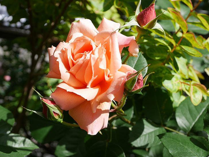 アプリコットキャンディ(Apricot Candy)の花が増えてきた。木立バラ。2021年-029.jpg