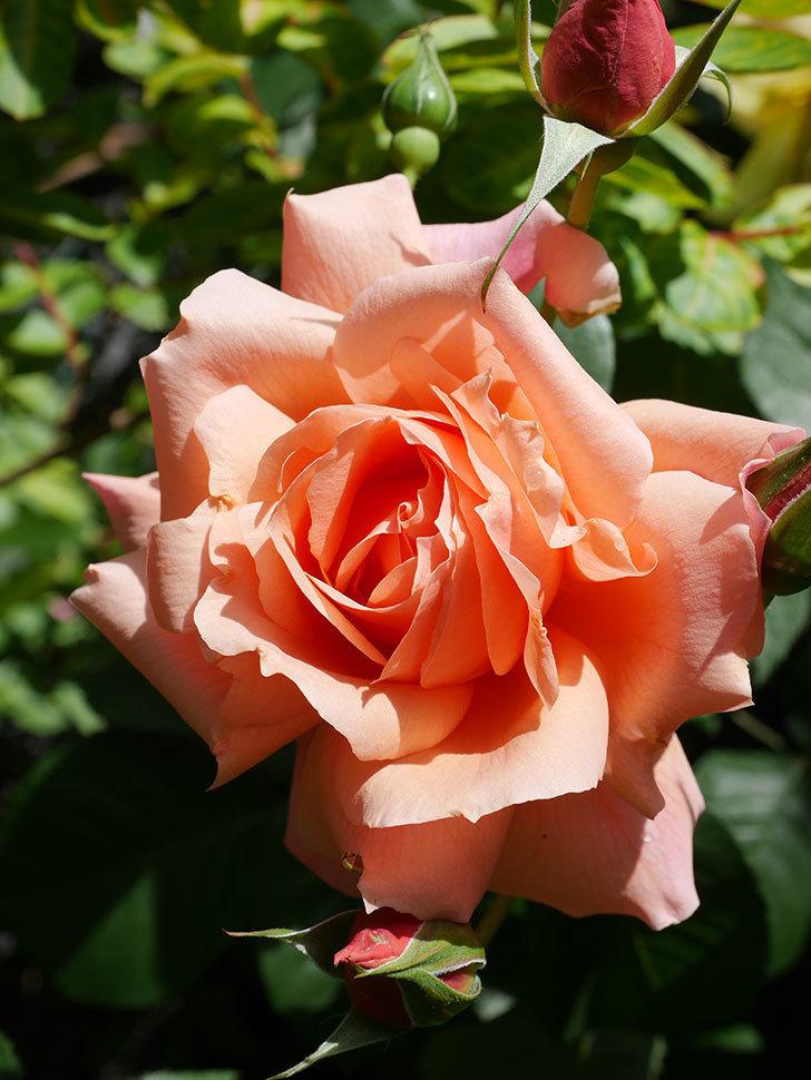 アプリコットキャンディ(Apricot Candy)の花が増えてきた。木立バラ。2021年-031.jpg