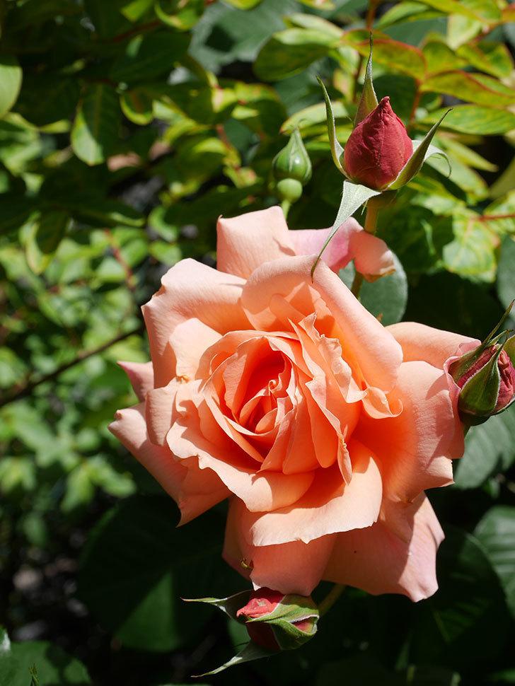 アプリコットキャンディ(Apricot Candy)の花が増えてきた。木立バラ。2021年-032.jpg