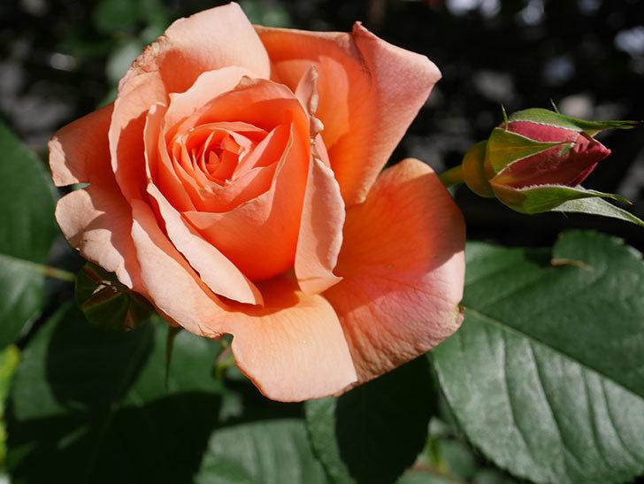 アプリコットキャンディ(Apricot Candy)の花が増えてきた。木立バラ。2021年-033.jpg