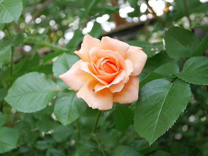アプリコットキャンディ(Apricot Candy)の花が増えてきた。木立バラ。2021年-034.jpg