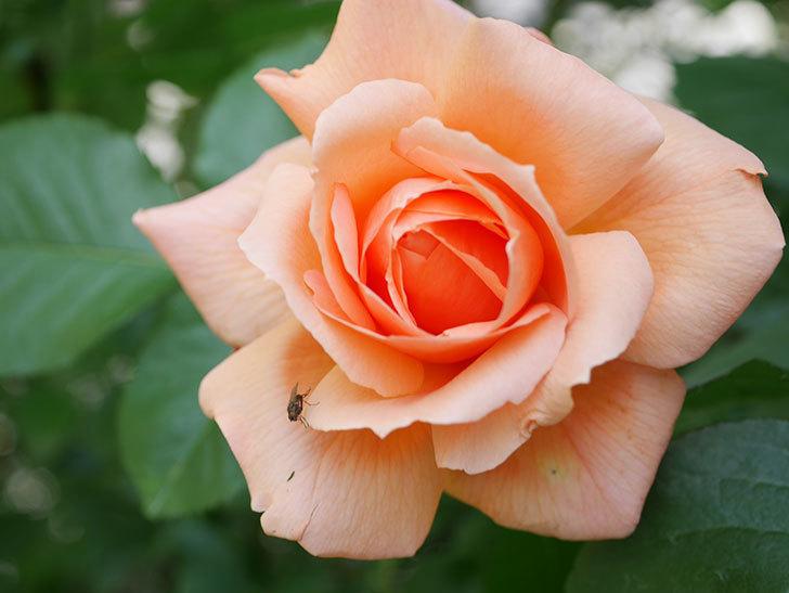 アプリコットキャンディ(Apricot Candy)の花が増えてきた。木立バラ。2021年-035.jpg