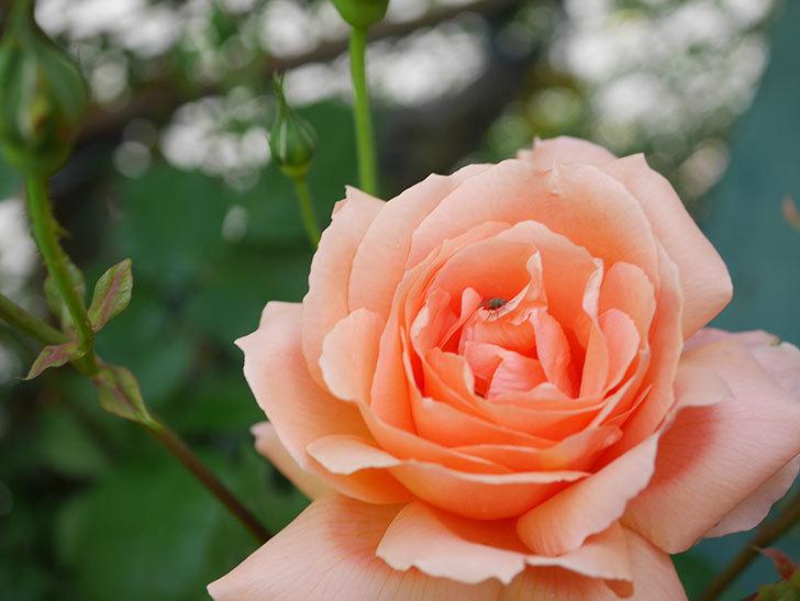 アプリコットキャンディ(Apricot Candy)の花が増えてきた。木立バラ。2021年-036.jpg