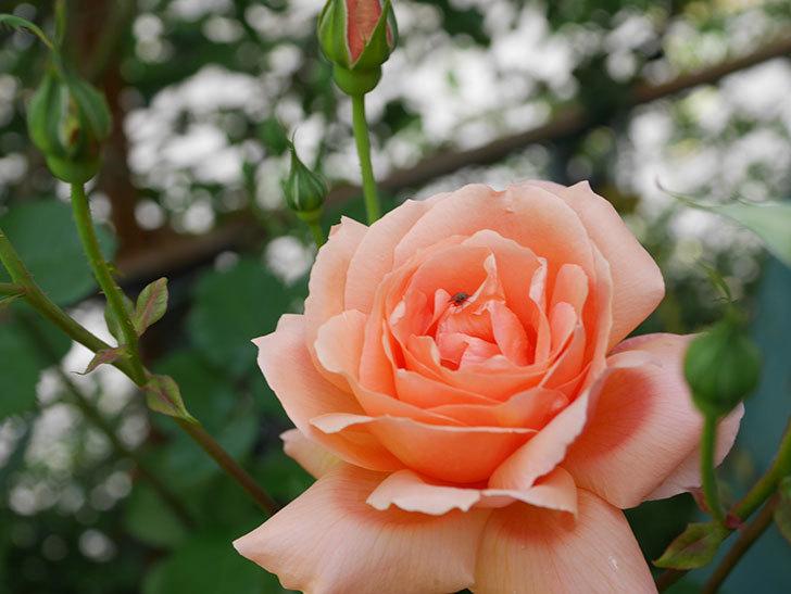 アプリコットキャンディ(Apricot Candy)の花が増えてきた。木立バラ。2021年-037.jpg