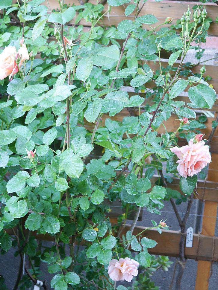 アプリコットキャンディ(Apricot Candy)の花が増えてきた。木立バラ。2021年-040.jpg