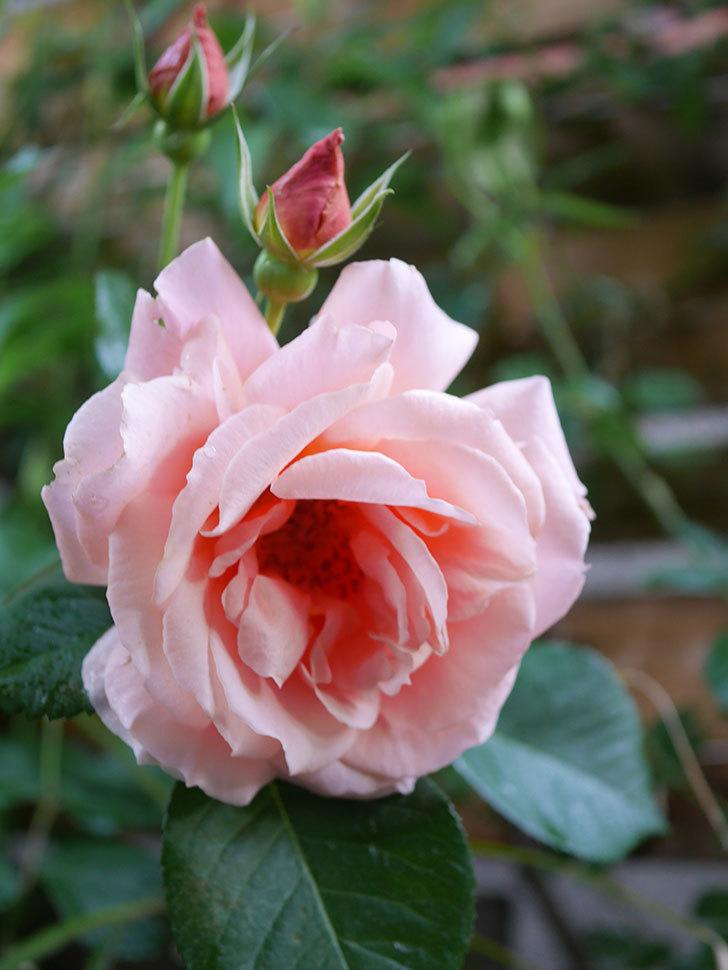 アプリコットキャンディ(Apricot Candy)の花が増えてきた。木立バラ。2021年-042.jpg