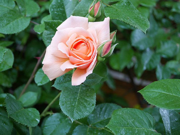 アプリコットキャンディ(Apricot Candy)の花が増えてきた。木立バラ。2021年-043.jpg