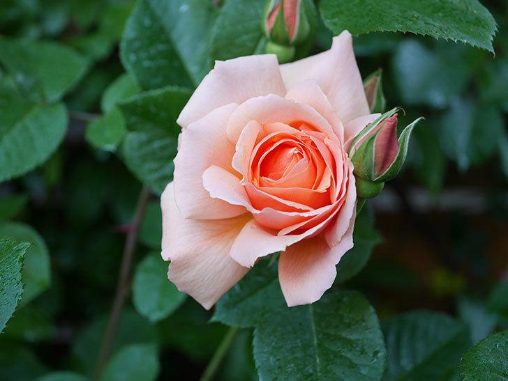 アプリコットキャンディ(Apricot Candy)の花が増えてきた。木立バラ。2021年-044.jpg