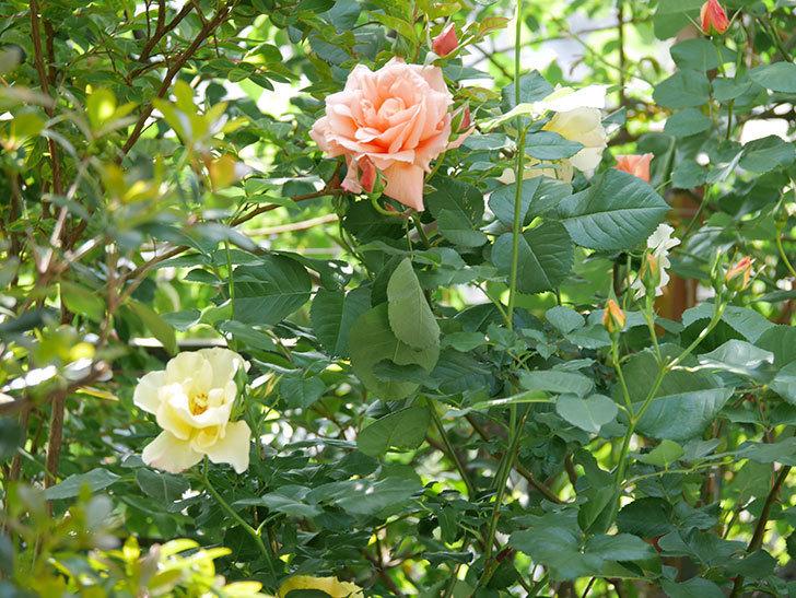 アプリコットキャンディ(Apricot Candy)の花が増えてきた。木立バラ。2021年-045.jpg