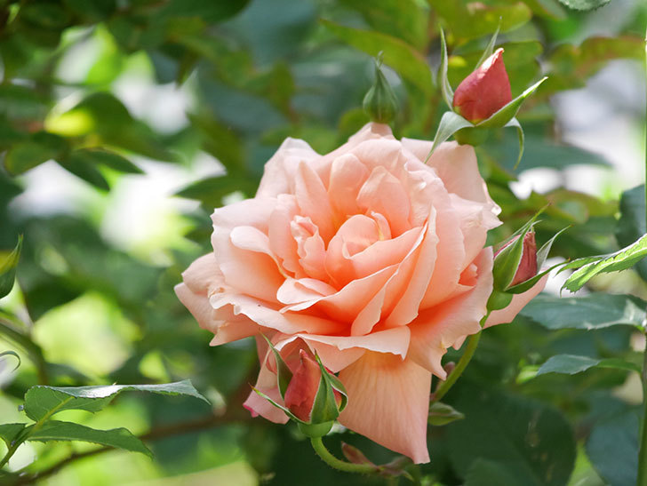 アプリコットキャンディ(Apricot Candy)の花が増えてきた。木立バラ。2021年-046.jpg