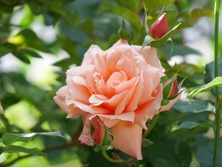 アプリコットキャンディ(Apricot Candy)の花が増えてきた。木立バラ。2021年-047.jpg