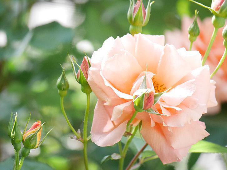 アプリコットキャンディ(Apricot Candy)の花が増えてきた。木立バラ。2021年-048.jpg