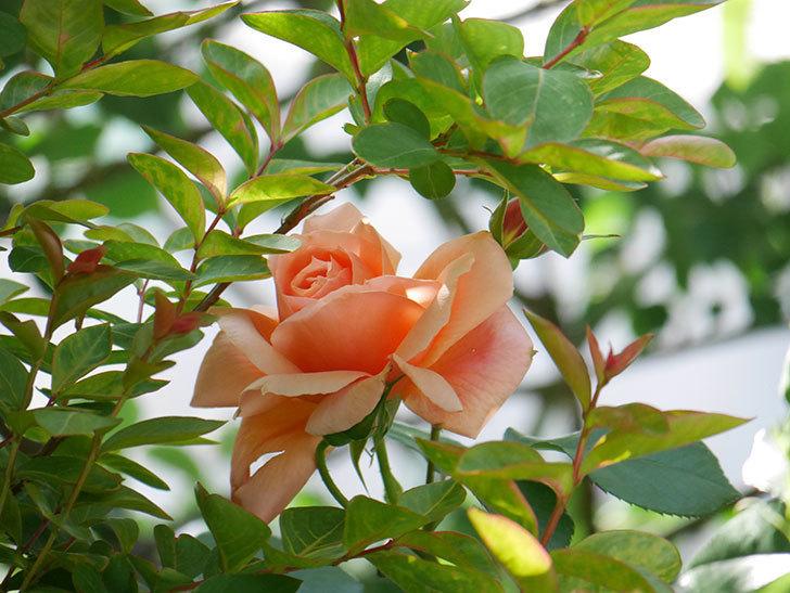 アプリコットキャンディ(Apricot Candy)の花が増えてきた。木立バラ。2021年-049.jpg