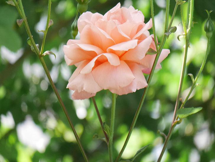 アプリコットキャンディ(Apricot Candy)の花が増えてきた。木立バラ。2021年-050.jpg