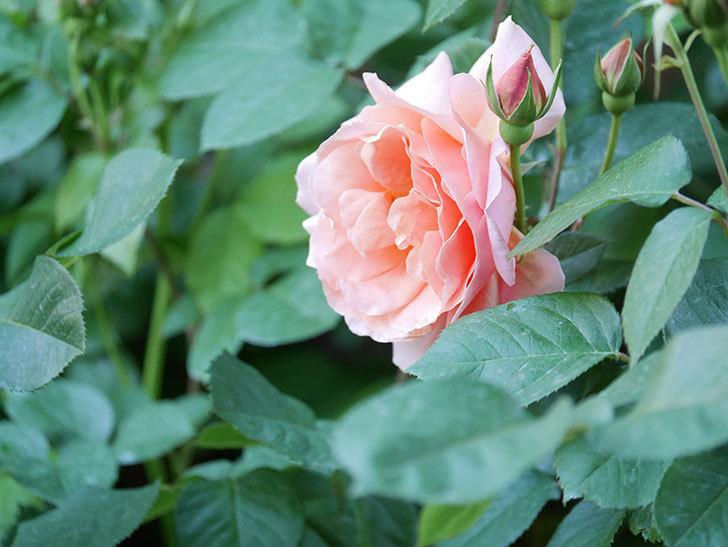 アプリコットキャンディ(Apricot Candy)の花が増えてきた。木立バラ。2021年-051.jpg