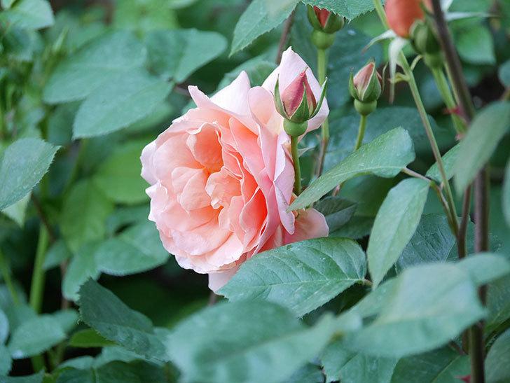 アプリコットキャンディ(Apricot Candy)の花が増えてきた。木立バラ。2021年-052.jpg