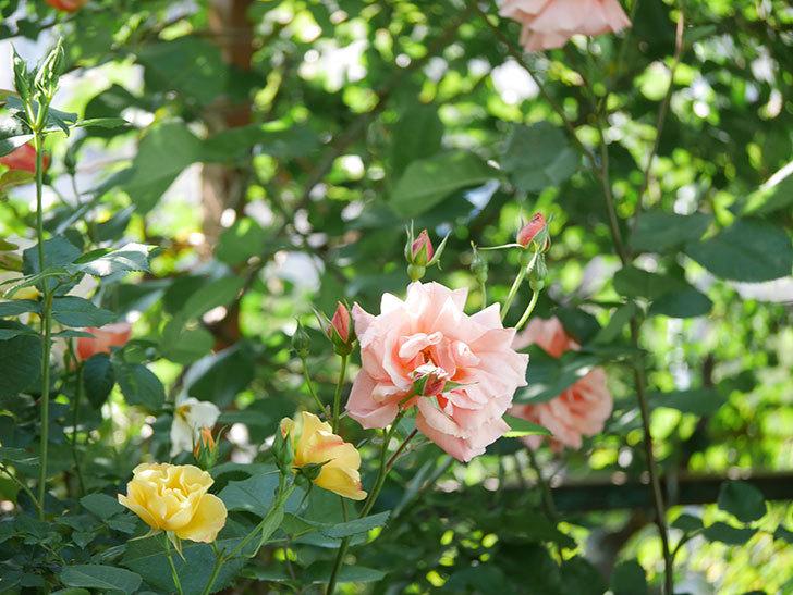 アプリコットキャンディ(Apricot Candy)の花が増えてきた。木立バラ。2021年-053.jpg